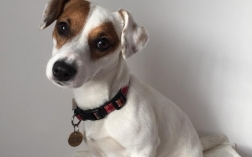 Who says you can't train a Jack Russell?