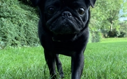Perfect Pug in a day!